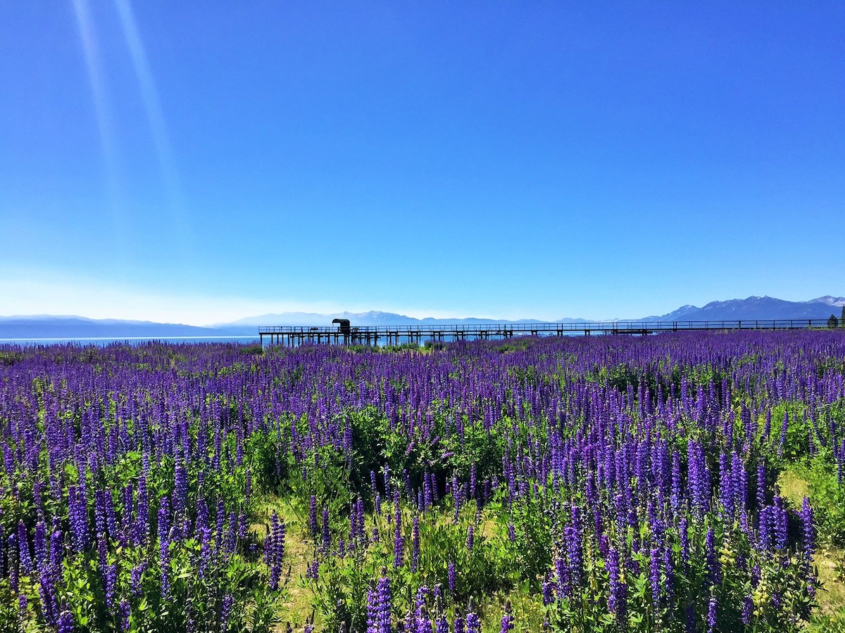 Spring flowers on the shores of Lake Tahoe